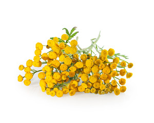Herb tansy isolated on white. Plant with flowers closeup.