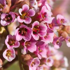 Bergenia flowers closeup.