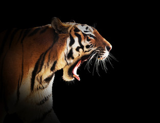 Wild tiger roaring. Black background.