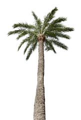 Isolated palm-tree
