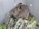 Pygmy Rabbit Relocation poster