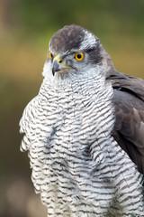 Falcon close up