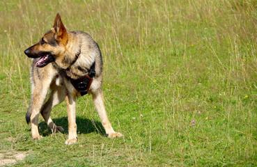 German Shepherd dog on meadow