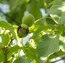 ripe walnuts on the tree