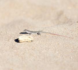 Lizard in desert
