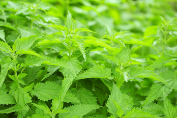 Beautiful green  background leaves of  nettle