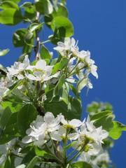 European pear (Pyrus communis) flowers in the spring garden