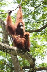 Orangutan and babies