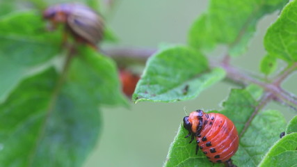 Colorado Potato Beetle, Leptinotarsa Decemlineata