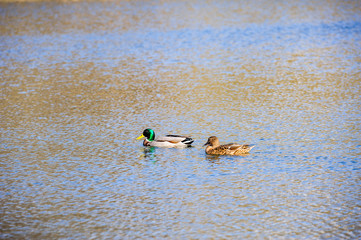 two ducks on the water