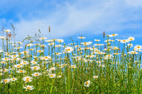 Fototapeta Flowers on green meadow in summer, Tatry Mountains, Poland