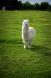 Lama dans un pré