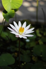 Beautiful lotus,  This beautiful water lily or lotus flower