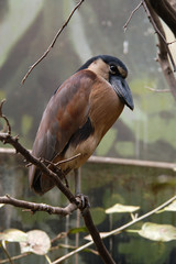 Boat-billed heron (Cochlearius cochlearius). .