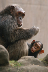 Chimpanzee (Pan troglodytes) with a baby..