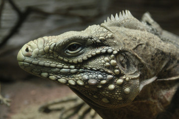 Cuban rock iguana (Cyclura nubile)..