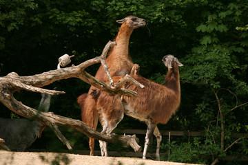 Guanaco lamas (Lama guanicoe) having sex. .