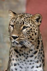 Persian leopard (Panthera pardus saxicolor). .