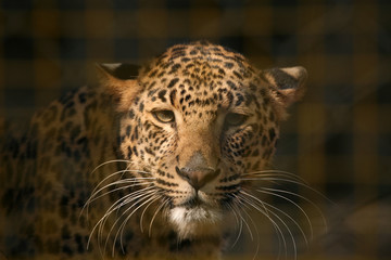 Leopard (Panthera pardus) in its enclosure at zoo. .