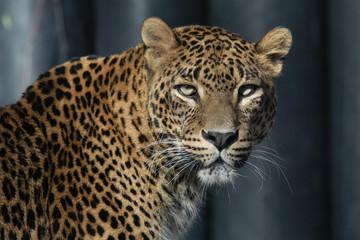 Sri Lankan leopard (Panthera pardus kotiya).