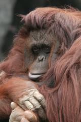 Orangutan (Pongo pygmaeus)..