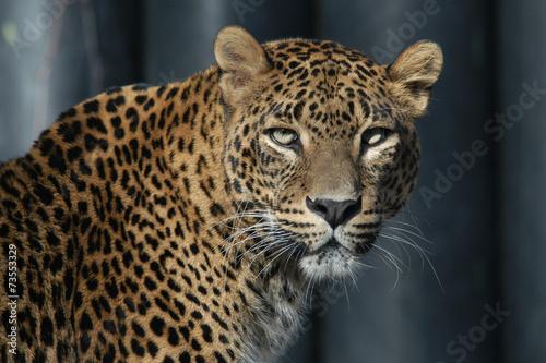 Fotobehang Luipaard Sri Lankan leopard (Panthera pardus kotiya).