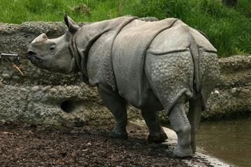 Indian rhinoceros (Rhinoceros unicornis)..