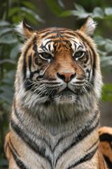 Sumatran tiger (Panthera tigris sumatrae)..
