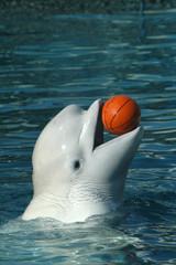 Beluga whale (Delphinapterus leucas) playing basketball. .