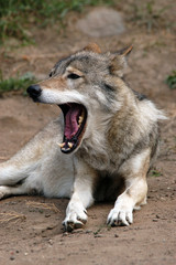 Eurasian wolf (Canis lupus lupus).