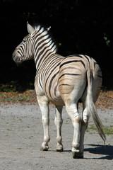 Damara zebra (Equus burchelli antiquorum). .