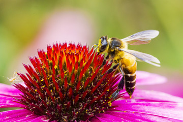 A bee and flower
