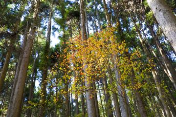 杉林と紅葉もみじ