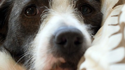 Close up of Cute Dog Eyes and Nose on the Pet Pillow.
