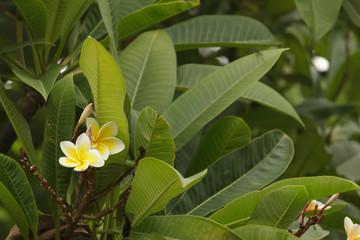 Frangipani in the garden