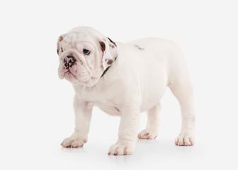 Dog. English bulldog puppy on white background
