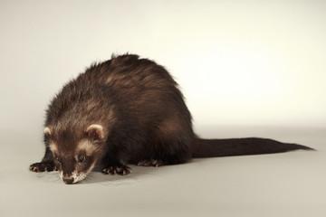 Nice ferret male on background