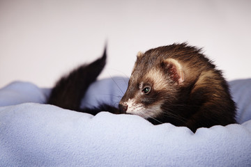 Sable ferret male in bed