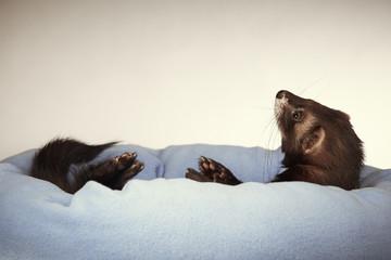 Ferret male enjoying bed