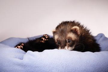 Ferret male in bed