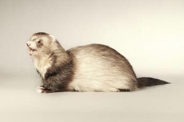 Smiling ferret male