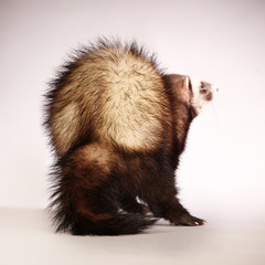 Ferret from back