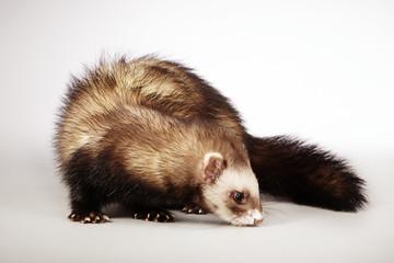 Nice ferret male