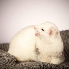 Pet and friend - Dew Ferret portrait in studio