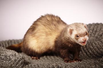 Pet and friend - Ferret smiling in studio