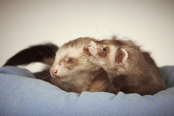 Two ferrets taking care of each other