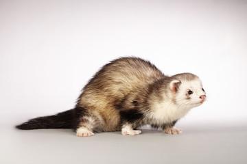 Beautiful ferret posing on background