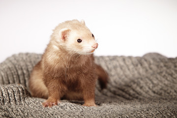 Portrait of chocolate ferret