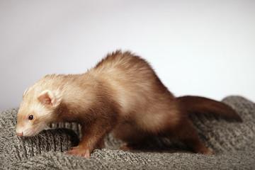 Lovely ferret in studio