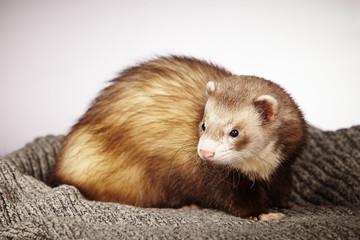 Pretty ferret in studio